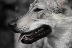 Quase lobo Fotografia de Stock