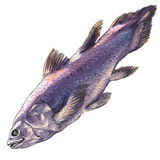 Quastenflosserfische, Latimeria chalumnae, lokalisiert, Aquarellillustration auf Weiß Lizenzfreies Stockfoto