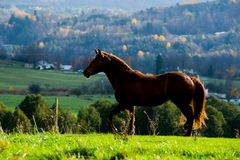 Quater horse in field Royalty Free Stock Images