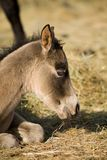 Quater horse foal Stock Photo
