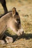 Quater horse foal stock photo
