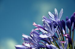 Quater of Lily of the Nile, also called African Blue Lily flower Stock Photography