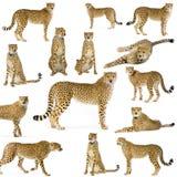Quatorze guépards Images libres de droits