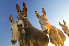 Quatre ânes avec les visages drôles Photographie stock