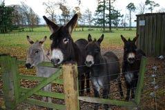 Quatre ânes sauvés Photo libre de droits