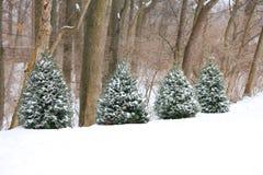 Quatre arbres à feuilles persistantes Images stock