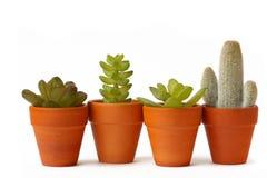 Quatre bacs de cactus Photos libres de droits