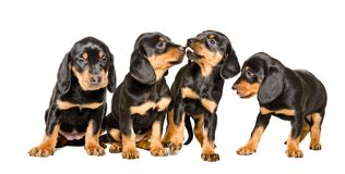 Quatre beaux chiots multiplient Hund slovaque Images libres de droits