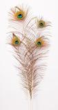 Quatre belles plumes de paon Photographie stock libre de droits