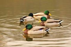 Quatre canards sauvages de colvert sur le lac Photographie stock