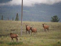 Quatre cerfs communs Photographie stock libre de droits