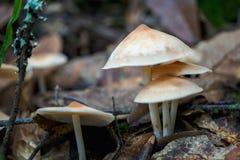 Quatre champignons de gymnopus sur le sol image libre de droits