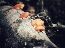 Quatre champignons oranges sur un rondin photos libres de droits