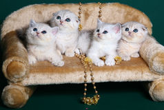Quatre chatons écossais de Shorthair. photos stock