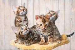 Quatre chatons du Bengale repérés par brun adorable image libre de droits