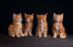 Quatre chatons solides rouges adorables de ragondin du Maine se reposant avec le beautifu Photographie stock libre de droits