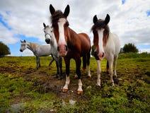 Quatre chevaux Photo libre de droits
