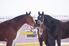 Quatre chevaux bruns et couleurs blanches s'occupent de l'un l'autre Image libre de droits