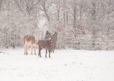 Quatre chevaux dans une tempête de neige très lourde Photo stock