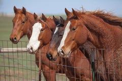 Quatre chevaux vigilants Photos libres de droits