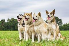 Quatre chiens de traîneau se reposant ensemble dans une rangée Photo libre de droits