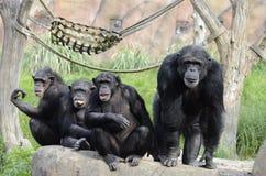 Quatre chimpanzés sur une roche Photographie stock