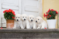 Quatre chiots adorables de golden retriever Photos libres de droits