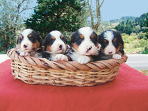 Quatre chiots dans un panier image stock