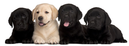 Quatre chiots de Labrador, 7 semaines de  Photographie stock