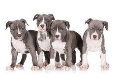 Quatre chiots de terrier de Staffordshire américain Photo stock