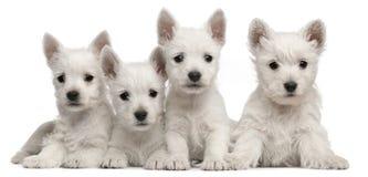 Quatre chiots des montagnes occidentaux de chien terrier, 7 semaines de  Photographie stock