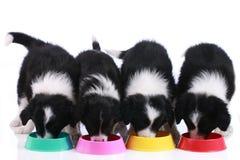 Quatre chiots mignons de border collie dans une rangée Photo stock