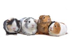 Quatre cobayes dans une ligne Image stock