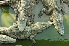 Quatre crocodiles de sommeil Photographie stock libre de droits