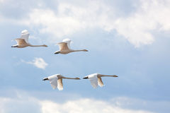 Quatre cygnes de whooper. Photo stock