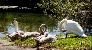 Quatre cygnes refroidissent près de la rivière Images libres de droits