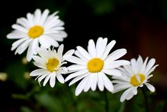 Quatre Daisy Flowers Photographie stock