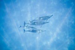 Quatre dauphins Image stock