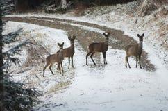 Quatre dears traversant la route photo libre de droits