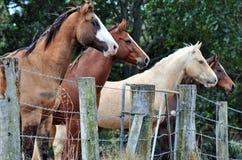 Quatre différents chevaux renversants de ferme se tenant à la ligne de barrière observant curieusement le dépassement de personne Images libres de droits