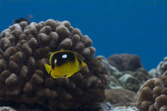 Quatre endroit Butterflyfish Photo stock