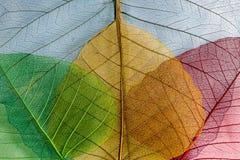 Quatre feuilles squelettiques Image stock