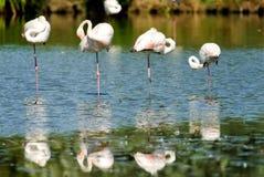 Quatre flamants se tenant sur une jambe dans une rangée en parc national de Camargue, France Photos libres de droits