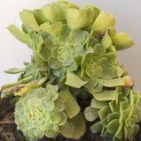 Quatre grandes rosettes de tectorum de Sempervivum s'élevant dans le pot image libre de droits