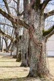 quatre grands, gros, vieux chênes dans une rangée photo stock
