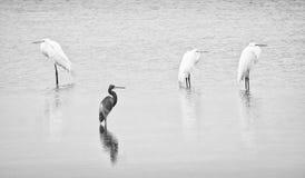 Quatre hérons pataugeant astucieusement dans l'eau immobile Photo libre de droits