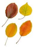 Quatre lames d'automne sur le blanc Photo stock