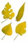 Quatre lames d'automne sur le blanc Image libre de droits