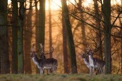 Quatre mâles de cerfs communs affrichés dans un bois Photo libre de droits