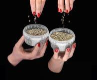 Quatre mains avec des graines de chanvre dans des récipients en plastique images libres de droits